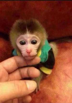 宠物猴品种图片及价格